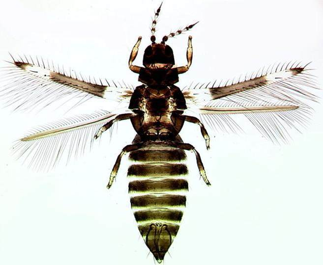 An insect that can perceive ultraviolet B radiation
