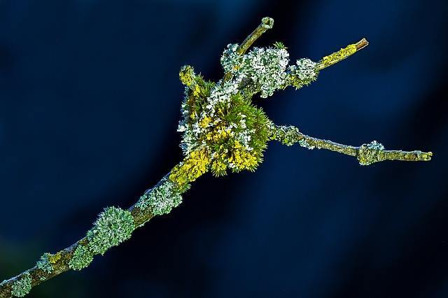 this is the lichen where your vegan vitamin D3 comes from